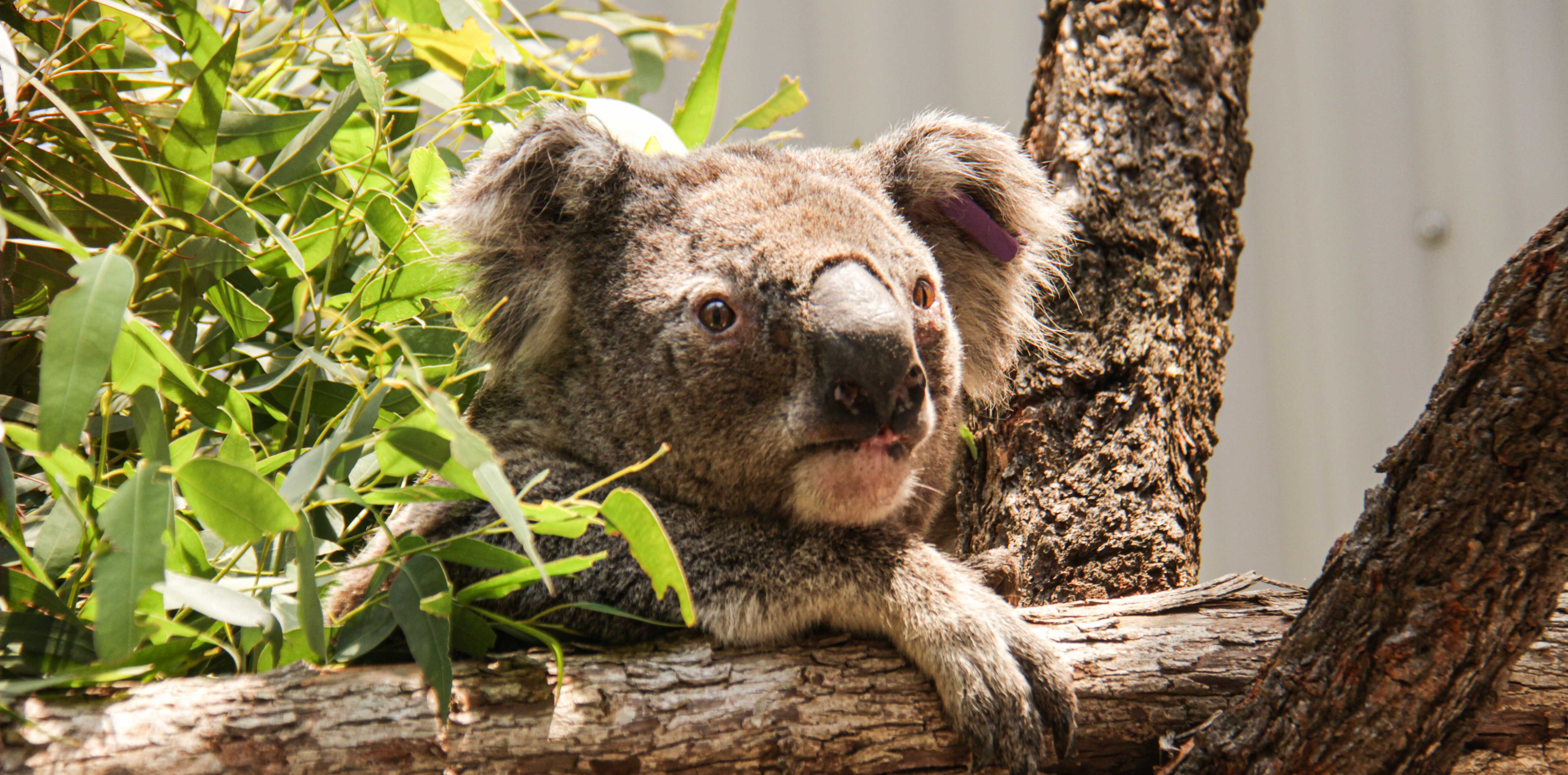 One of the Blue Mountains' koalas successfully evacuated, due to bush fires